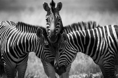 Zebras in Africa